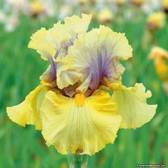 Yellow Bearded Iris Secret Rites -- another one I want to add w my plain yellow and white irises