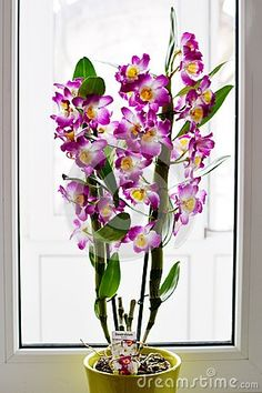 Photo about Dendrobium Nobile Violet Orchid in a green pot in front of window. Image of environment, petals, exotic - 111792704 Prado, Dendrobium Nobile, My Flower, Flowers, Bright Background, Tropical, Orchids, Glass Vase, Environment