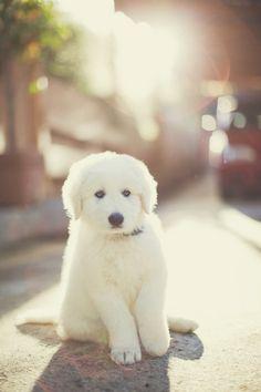 White #Golden #Retriever #Puppy Dogs