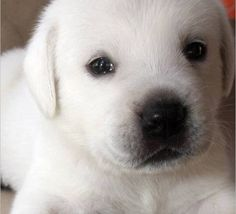 57 Best White Lab Puppies Images In 2019 Cute Dogs Cute Puppies