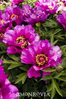 Morning Lilac Itoh Peony - Large, single to semi-double fuchsia-pink blooms with gold stamens are held on strong stems just above sturdy dark green foliage. Ideal for cut flower arrangements.