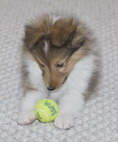 Sheltie Sunday for 37 Photos of Shetland Sheepdogs. Shetland sheepdogs require constant stimulationare are very smart and can easily be trained. Rough Collie, Collie Dog, Pet Dogs, Dog Cat, Doggies, Shetland Sheepdog Puppies, Herding Dogs, Sheltie, Cute Baby Animals