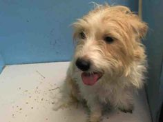 SAFE ! - 12/23/13  Manhattan Center -P KINGSTAN A0987673 Male tan & white Norfolk terrier mix 2 YRS STRAY 12/18/13 A bit shy during handling, but displayed soft body language. Some what distracted during the tag item, but approached the assessor w/ friendly body language after play. Calmly lifted his head out of the dish during the food bowl test, but showed no interest in the toys or rawhide. Approached the helper dog confidently during the dog to dog item while keeping a soft body.