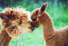 Discovered by Find images and videos about cute, animal and alpaca on We Heart It - the app to get lost in what you love. Llama Pictures, Animal Pictures, Alpacas, Cute Baby Animals, Animals And Pets, Cute Alpaca, Tier Fotos, Animals Beautiful, Fur Babies