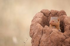 Карликовые Мангуста         Dwarf Mongoose - A dwarf mongoose peaks out of a  termite mound in Tarangire National Park, Tanzania