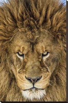 Stretched Canvas Print: Serious Lion by Mike Centioli : 30x20in