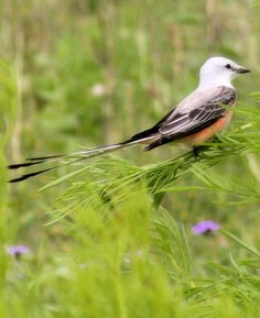 The Scissor-tailed Flycatcher bird, (Tyrannus forficatus, also known as the Texas bird-of-paradise and the swallowtailed flycatcher) is a long-tailed insectivorous (insect-eating) bird of the genus Tyrannus, whose members are collectively referred to as kingbirds. The kingbirds are a group of large insectivorous birds in the tyrant flycatcher (Tyrannidae) family. The scissor-tailed flycatcher is found in North and Central America.