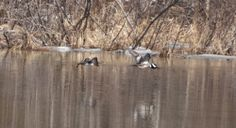 Pair of mergansers in Maine #duckhunting #kennebecvalley #silvertonsportingranch