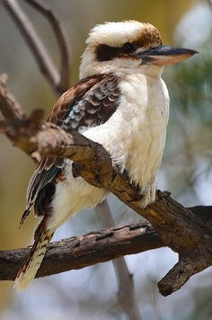Kookaburra sits on the old gum tree.... kookaburra perched on a branch with its lovely coloured feathers.