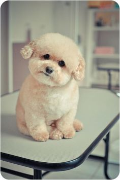 toy poodle ♥