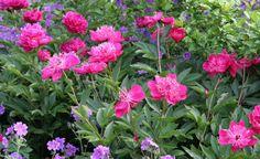 Die 10 schönsten Blütenstauden im Mai
