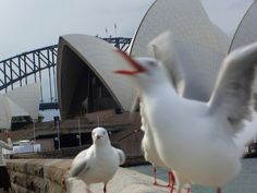Seagulls singing at the Opera House