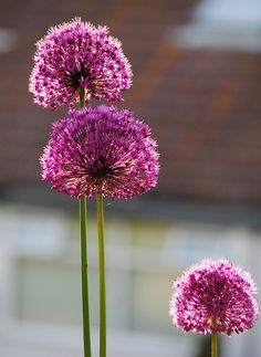 Allium - Purple Sensation