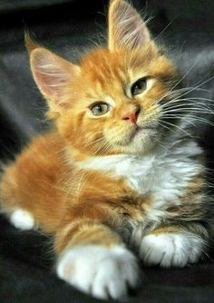 Maine coon kitten <3 #cats #cattoys #catowners