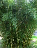 """Bamboo: clumping, cold hardy variety,(Fargesia robusta """"Campbell"""") at Bamboo Garden in North Plains, Oregon"""