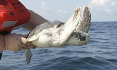 GALVESTON — Scientists are worried about an unexpected drop in the number of nests by the endangered Kemp's ridley sea turtle this year.  In contrast to the record 209 nests discovered during last year's nesting season in Texas, the largest U.S. nesting ground, the number fell to 153 this year.