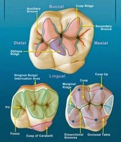 Molar Anatomy shared by Dr. Gregory Bowen San Antonio dentist w… Teeth white strips area … Dental World, Dental Life, Dental Art, Dental Health, Oral Health, Dental Assistant Study, Dental Hygiene Student, Dental Hygienist, Dental Anatomy