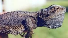 The Bearded Dragon Is The Coolest Reptile In The World Eastern Bearded Dragon, Bearded Dragon Diet, Reptiles, Lizards, Animals And Pets, Wildlife, Fun, Pets, Hilarious