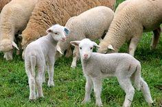 Lamb Nursery Themes thumbnail