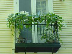 my Juliet balconey with moonflower vine