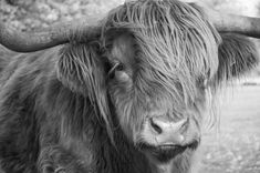 Highland Cattle 19 Fine Art Photography Highland by shortwork Scottish Highland Cow, Highland Cow Print, Highland Cattle, Scottish Highlands, Animal Photography, Fine Art Photography, Nature Photography, Travel Photography, Farm Pictures