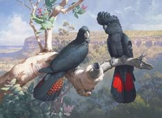"William (Bill) T Cooper - Artist and naturalist. ""Above the Gorge (Red-tailed Black Cockatoos)"" In the Quincan Country of Cape York Peninsula these birds are usually present. Australian Birds, Australian Artists, Bird Artists, Bird Illustration, Vintage Birds, Cockatoo, Wildlife Art, Beautiful Birds, Pet Birds"