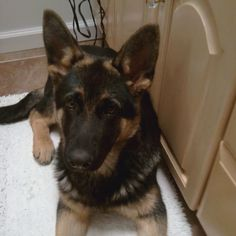 Sweet German shepherd pup- Titan Roberts
