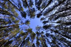 #forest #nature #sky #trees #worm39s eye view