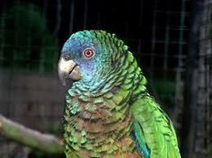 St. Lucia Amazon : amazona versicolour, endemic to the Island of St. Lucia and is their national bird