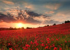 This sunset glows this awe striking poppy field at Blackstone Nature Reserve in Bewdley, Worcestershire.