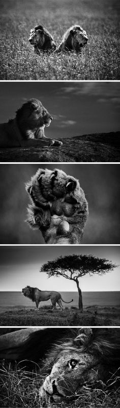 Laurent Baheux, wildlife photographer, shares his favorite photos of his favorite big mammal, the lion.  Absolutely stunning.