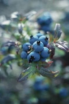 Good companions for blueberry bushes - rhododendrons and California lilacs - attract bees - maybe basil and thyme