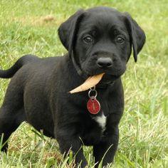 48 Best Mastador Puppies Images Best Dogs Mastador Puppies Baby Dogs