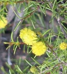 Acacia aprica Endangered Plants, Acacia, Shrubs, Shrub