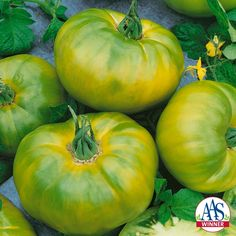 Chef's Choice Green Tomato - 2016 AAS Winner - The newest addition to the Chef's Choice series produces beautiful green colored fruits with subtle yellow stripes and a wonderful citrus-like flavor and perfect tomato texture.