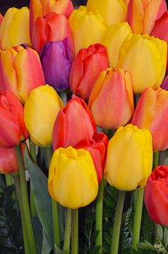 ~~Pretty bunch of tulips by Perl Photography~~