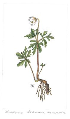 Anemone nemorosa. Dagny Tande Lid's botanical drawings available at www.nhm.ui.no
