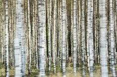 Drive-by shot of birch trees getting ready for spring. Birch Forest, Birch Trees, Birches, Acrylic Canvas, Contemporary Paintings, Impressionism, Landscape Paintings, Landscape Photography, Abstract