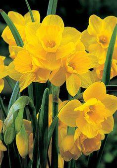 Quail Bulbs | Daffodils Bulbs Quail | Buy Daffodils Flower Bulbs Online | Bloms Bulbs UK An Award Winning Supplier