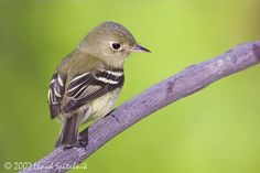 Yellow-bellied Flycatcher (Empidonax flaviventris) - The easiest of the eastern Empidonax flycatchers to identify due to its yellow underparts, the Yellow-bellied Flycatcher is found in Pennsylvania during migration