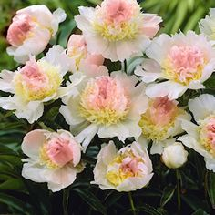 Peony 'Top Brass'.  Top Brass is a creamy white shade with a butter-yellow center.