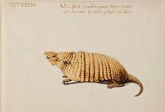 Desenho de um tatu realizado por Frans Post no século 17