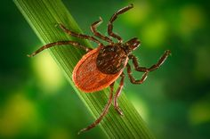 Many patients and practitioners criticize the medical establishment for not doing enough about Lyme disease. Much remains unknown about the illness, and even mode of transmission has recently come into question.