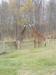 Giraffes=For Susie