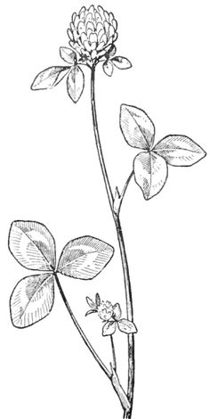 Finished Black and White Drawing of a Clover Blossom