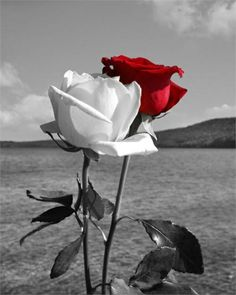 Beautiful Black & White Photo with a red rose colour and the white Rose in Black & White