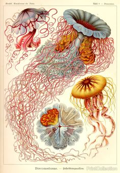 Jellyfish - science illustration