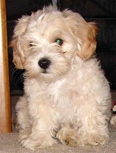 next time around I want a doggie like this one.   It is a shih-tzu/ maltipoo cross.