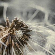Taraxacum Seed Head, digital photography by Chaotic Atmospheres - ego-alterego.com