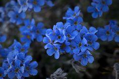 The Arctic / Alpine Forget-me-not, (Eritrichium nanum; Family: Boraginaceae) in flower at Denali National Park and Preserve, Alaska, USA